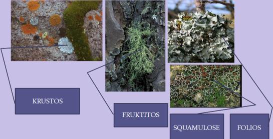 """""""Pembagian lichenes berdasarkan bentuk"""""""